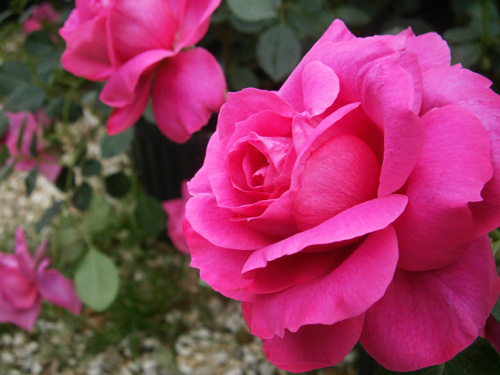 Exceptionnel The Garden Center Carries Several Varieties Of Roses Including The Texas  Superstar, The Knockout Rose. We Also Have The Biggest Selection Antique  Rose ...