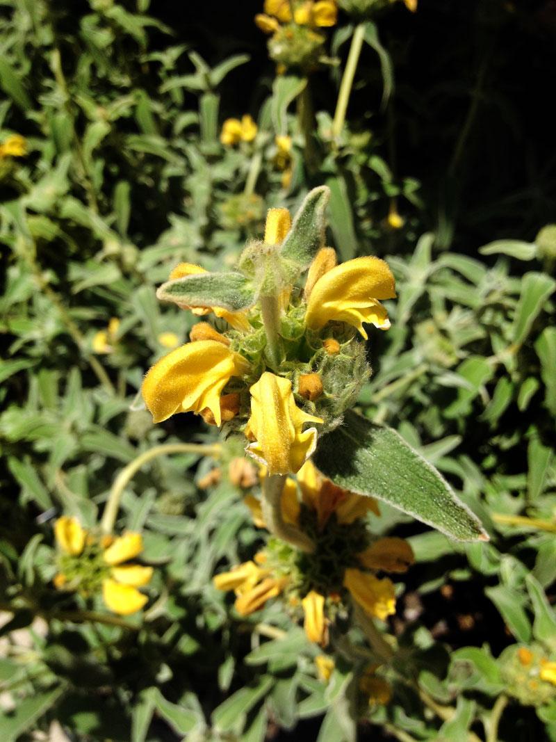 July Plant Of The Month Jerusalem Sage Garden Center Nursery San