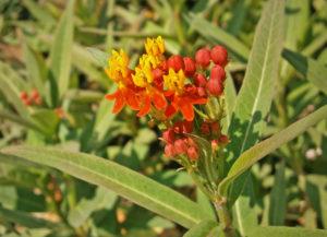 tropical milkweed