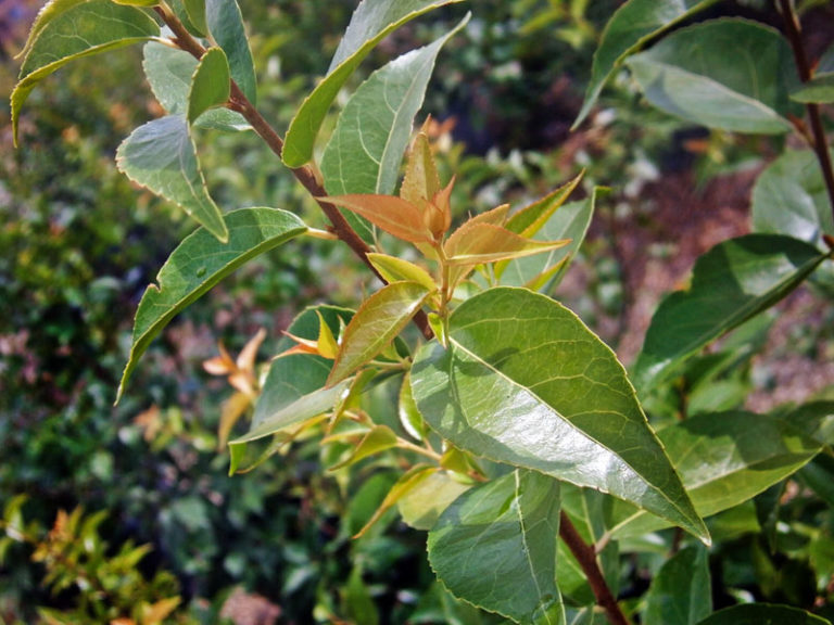 Xylosma • Plant of the Month