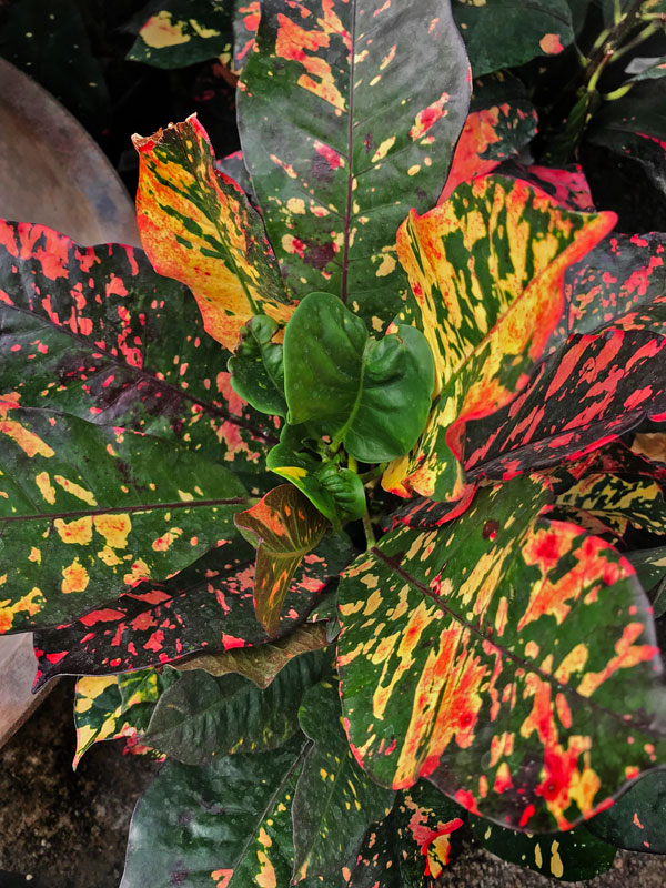 Crotons November Plant of the Month